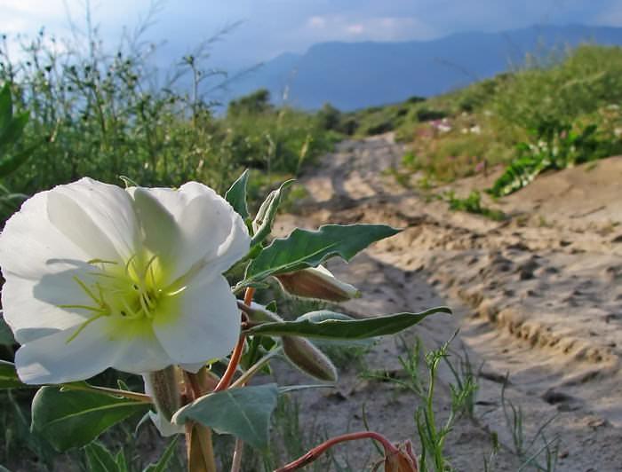 Resilient Flower in Desert Landscape